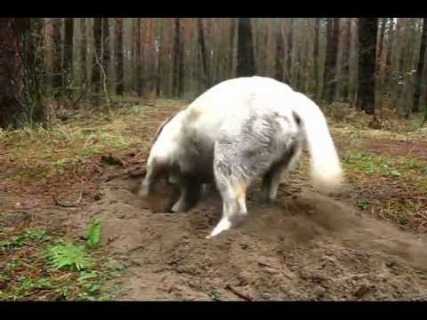 Labrador Pie digging the ground