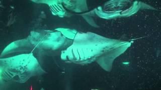 Reifur Diving with Manta rays in Kona, Hawaii, 2013