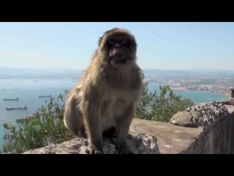 Cute Baby Monkeys on the Rock of Gibraltar
