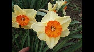 Смотреть видео Растения весенних цветников