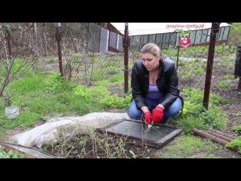 Растёт ли ежевика в Сибири?  Эксперимент часть 1. Урожайные грядки