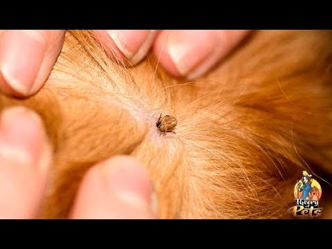 top-#77:-how-to-protect-your-dog-from-parasites