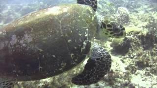 Полировка черепахи