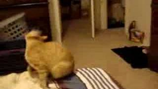Prozac the Cat Fetches