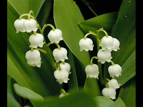 Lily Of The Valley Youtube
