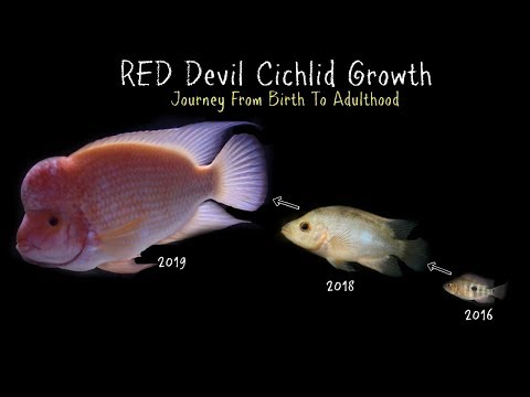 Watch My Red Devil Cichlid Grow 0 To 11 Inches