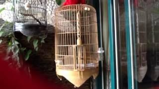 Phim | Chim khướu hót bắt cô trói cột hay nhất hà Nội | Chim khuou hot bat co troi cot hay nhat ha Noi