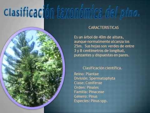 clasificacion taxonomica de los arboles de la