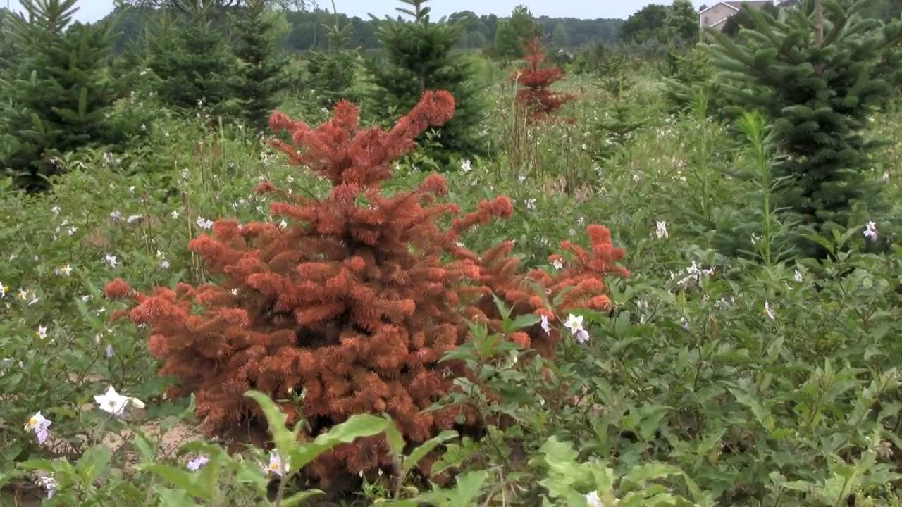 Phytophthora Root Rot In Christmas Trees