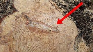 Oduncu Bu Ağacı Yarıya Kadar Kesti, Ama Asla Bunu Bulmayı Hayal Etmemişti