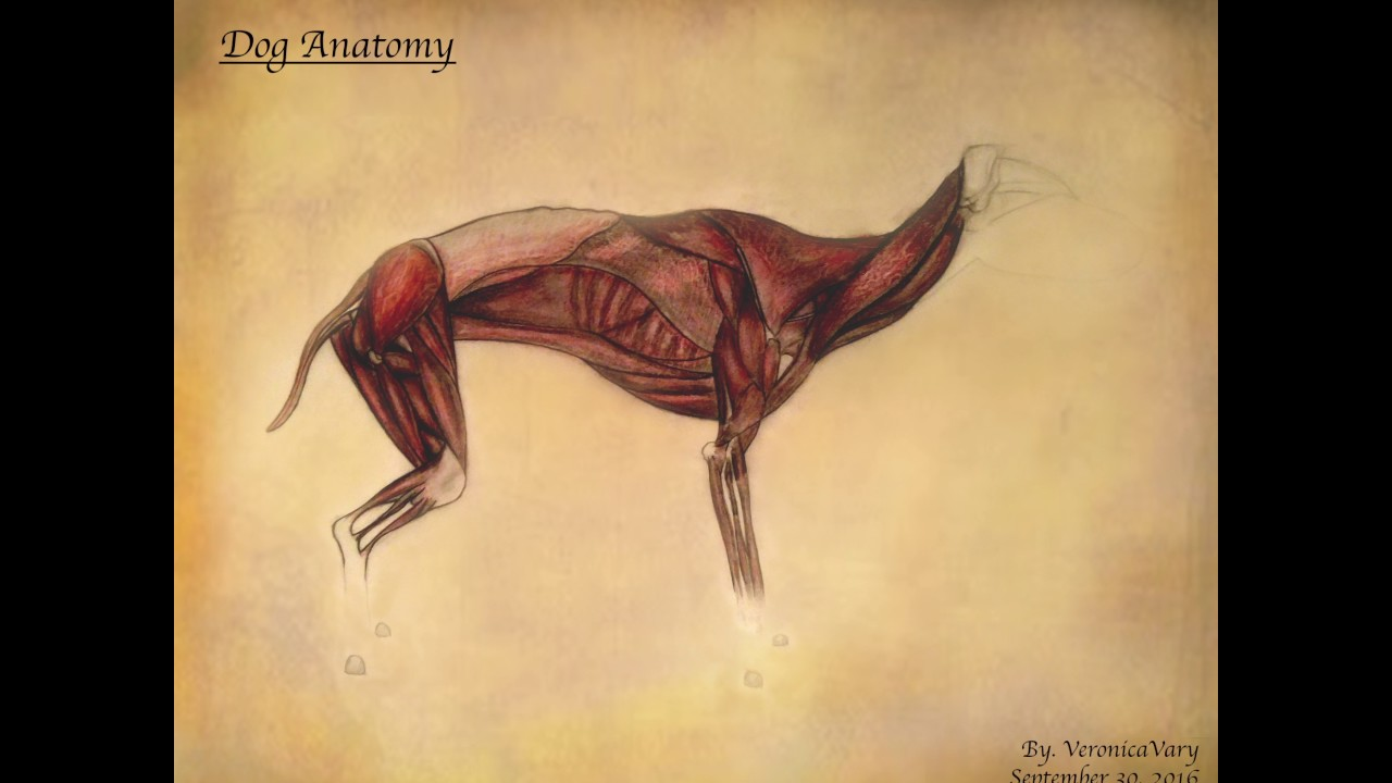 Dog Anatomy - YouTube