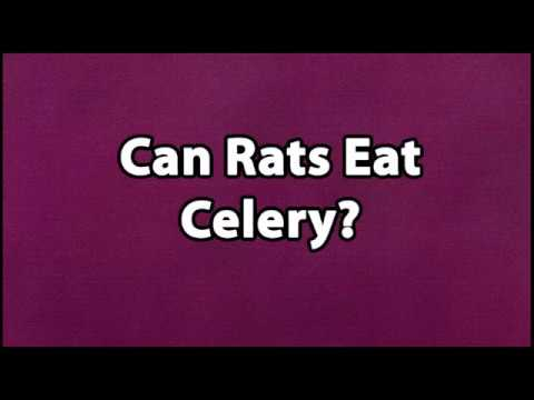 Can Rats Eat Celery You