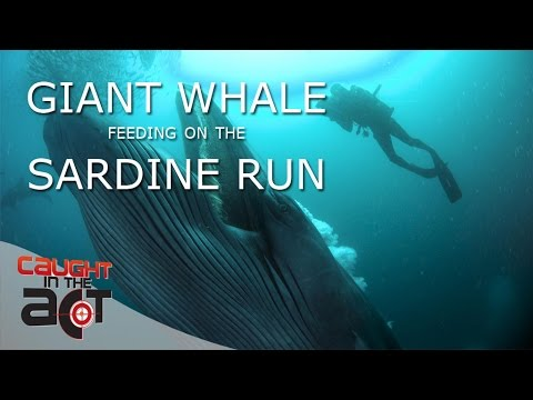 Face to Face with a Brydes Whale | CAUGHT IN THE ACT