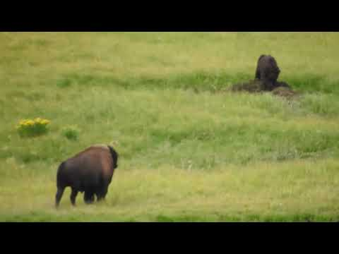 Yellowstone Grizzly Charges Bison