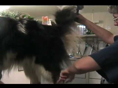 Grooming the rough collie  pt 1 of 5