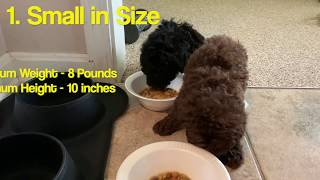 Top 5 Reasons to get Toy Poodles