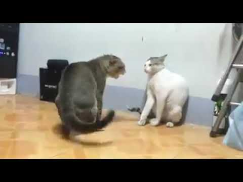 Funny Cats fight