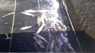 Курильские Острова - Видео №45 - рыба пришла на нерест(Немного сменил работу и увидел еще больше ...., 2015-07-21T23:01:14.000Z)