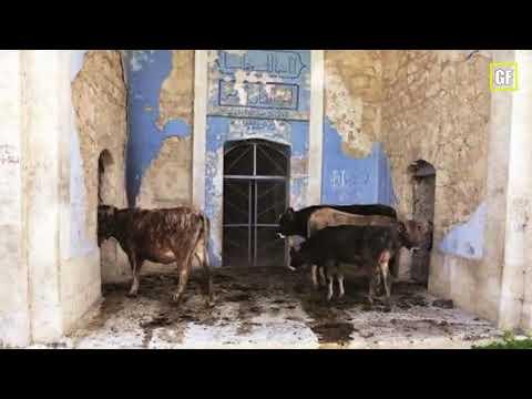 Армяне превратили мечеть в Зангилане в свинарню.