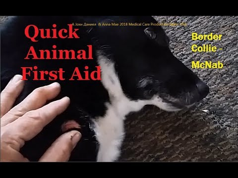 Emergency Veterinary Care for dogs, My Border Collie McNab