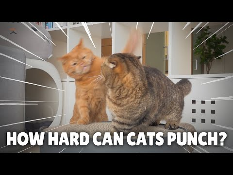 How Hard Can Cats Punch?
