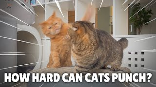 How Hard Can Cats Punch? | Kittisaurus