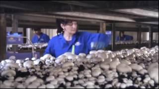видео Выращивание грибов в домашних условиях как бизнес