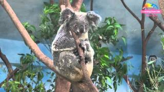 動物園無尾熊雙喜臨門-發育中寶寶現身育兒袋 Two Baby Koala Are Growing