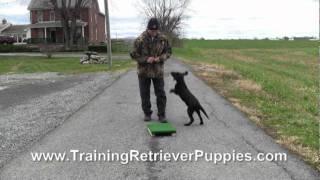 Teach Flip Finish Left And Right Labrador Retriever Puppy Henry