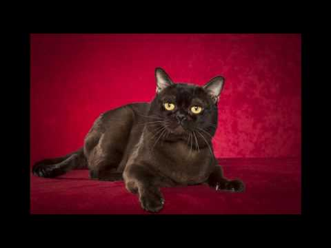 Bombay Cat and Kittens | History of the Indian Bombay Cat Breed