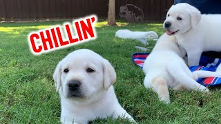 PUPPY PICNIC! Cute Labrador Retriever Puppies Chow Down & Chill Out