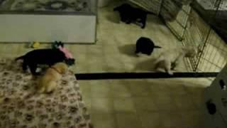 Sundancer Lab puppies