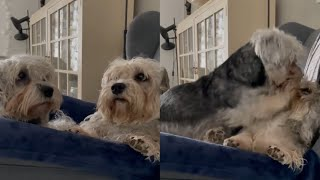 CUTE AND AWESOME DANDIE DINMONT TERRIER MOMENTS