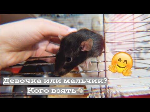 Вопрос: Какую кличку придумать для серой декоративной крысы?