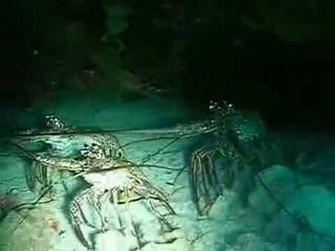 Lobster Colony in a Cave off Negril, Jamaica