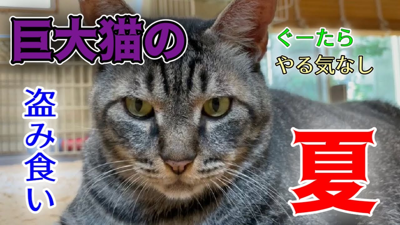 でかい猫とゆかいな仲間たちの夏の過ごし方【Rescued cats】