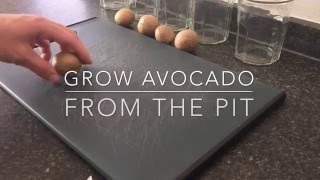Grow Avocado Tree from Pit - detailed