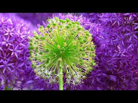 """Peaceful Relaxing Instrumental Music, Meditation Nature Music """"Spring Lilacs"""" By Tim Janis"""