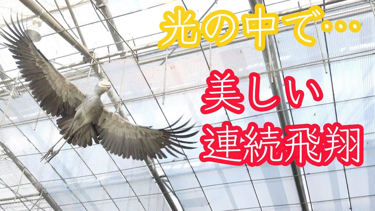 ハシビロコウふたばちゃんの華麗な連続飛翔とその後のドヤ顔!(おまけ付き)【春のふたば13】 Spring Futaba_13 Shoebill FUTABA 2021_38