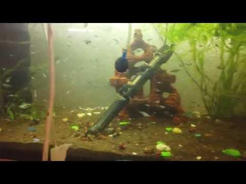 Нерест гурами шоколад  в общем аквариуме, переезд малька в большой ак