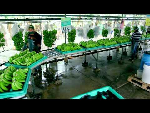 Empaque para la exportación de banano orgánico
