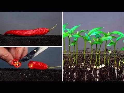 Chili pepper time lapse