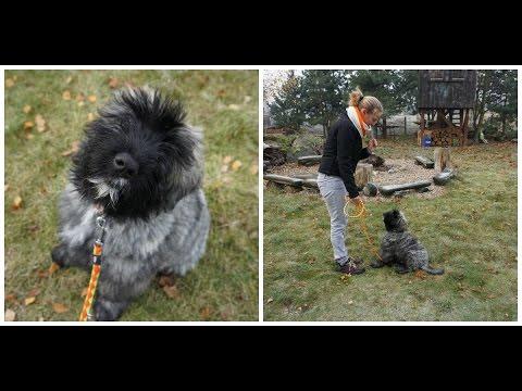 Hektor (Bouvier des Flandres) - psie przedszkole / puppy training