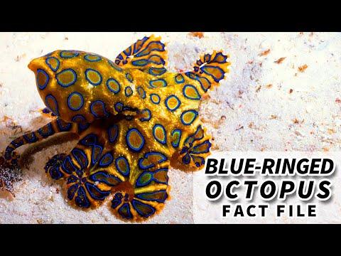 Blue-ringed Octopus | Animal Fact Files