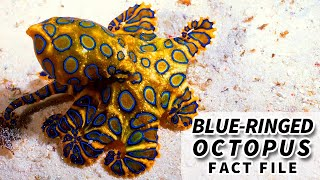 Blue-ringed Octopus facts: a Small Cephalopod with a Deadly Bite | Animal Fact Files
