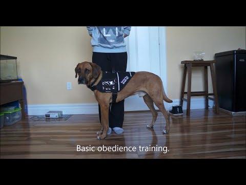 service-dog-training-#10---basic-commands