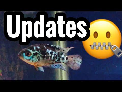 Sick Electric Blue Jack Dempsey Fish