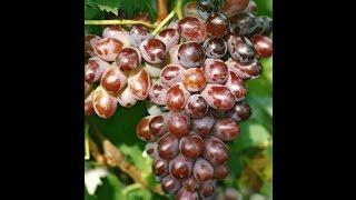 Короткометражний фільм мого молодого виноградника