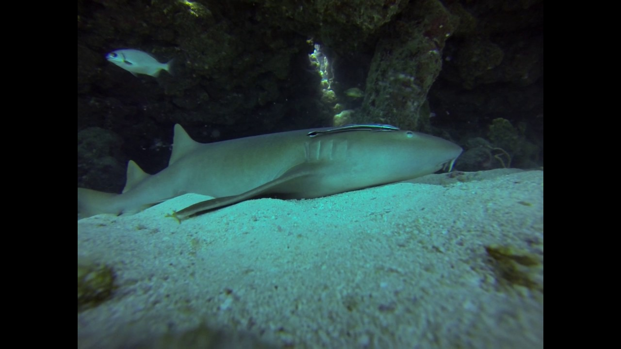 nurse shark with remora and glassy sweepers 5 8 17 - Shark Sweepers