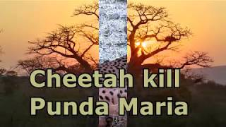 CHEETAH KILL PUNDA MARIA